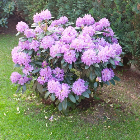 Rhododendron ponticum is a species of Rhododendron native to southern Europe and southwest Asia Imagens