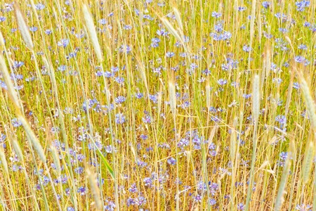 Rye (Secale cereale) is a grass grown extensively as a grain and as a forage crop. It is a member of the wheat tribe (Triticeae) and is closely related to barley and wheat. Stock Photo - 10675886