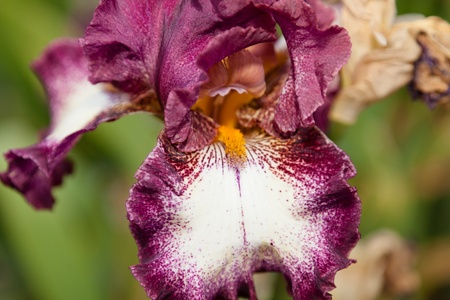 showy: Iris is a genus of 260 species of flowering plants with showy flowers.