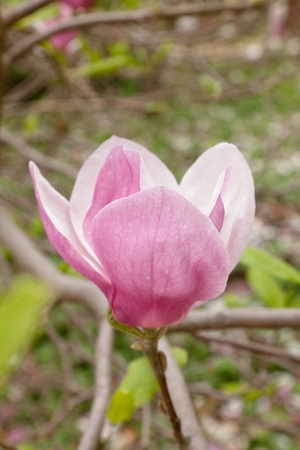 magnolia soulangeana: Magnolia soulangeana (saucer magnolia) is a hybrid plant in the genus Magnolia and family Magnoliaceae.