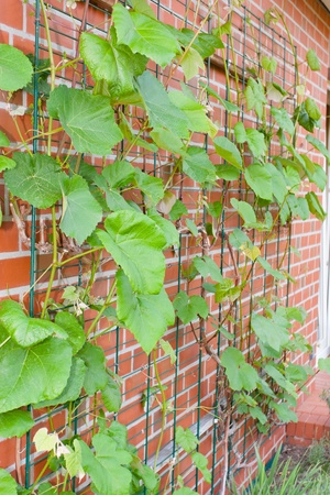 refers: A vine in the broad sense refers to any climbing or trailing plant.