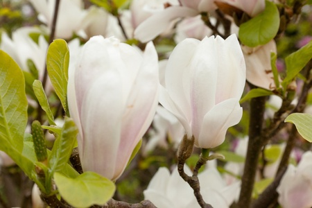 magnolia soulangeana: Magnolia × soulangeana (saucer magnolia) is a hybrid plant in the genus Magnolia and family Magnoliaceae.