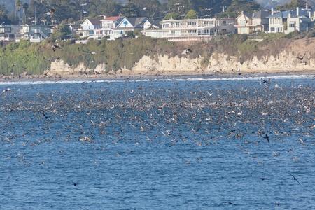 SANTA CRUZ, CA, USA - SEPTEMBER 5: Thousands of birds feeding on on sardines and anchovies September 5, 2011 in Santa Cruz, CA, USA Stock Photo - 11749088