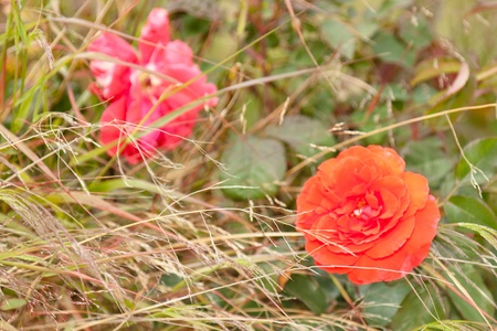 Rose is a perennial plant of the genus Rosa, within the family Rosaceae.