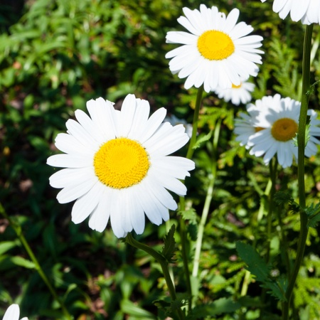 widespread: Oxeye daisy(Leucanthemum vulgare)  is a widespread flowering plant native to Europe