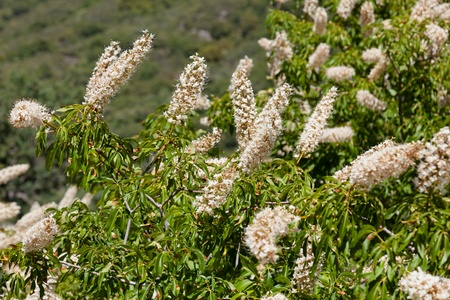 buckeye: Flower spikes of the California Buckeye on th foothills near Kings Canyon.