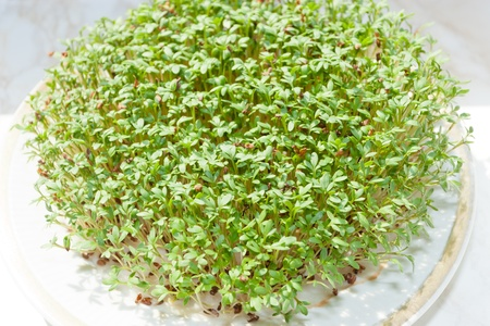 peppery: Garden cress (Lepidium sativum) is a fast-growing, edible herb that is botanically related to watercress and mustard, sharing their peppery, tangy flavor and aroma. Stock Photo