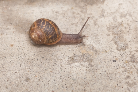 Helix aspersa, known by the common name garden snail, is a species of land snail, a pulmonate gastropod that is one of the best-known of all terrestrial molluscs. Stock Photo