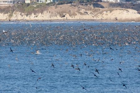 SANTA CRUZ, CA, USA - SEPTEMBER 5: Thousands of birds feeding on on sardines and anchovies September 5, 2011 in Santa Cruz, CA, USA