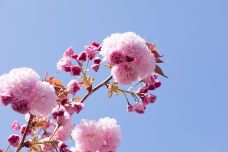 Blossoming almond tree in springtime in California photo