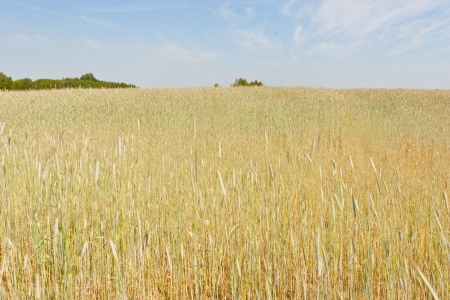 Rye (Secale cereale) is a grass grown extensively as a grain and as a forage crop. It is a member of the wheat tribe (Triticeae) and is closely related to barley and wheat. Stock Photo - 14068104