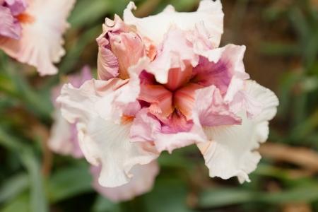 plants species: Iris � un genere di 260 specie di piante da fiore con fiori appariscenti. Archivio Fotografico
