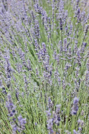 Lavandula angustifolia is a flowering plant in the family Lamiaceae. Stock Photo - 14458654