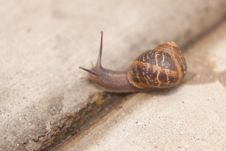 Helix aspersa, known by the common name garden snail, is a species of land snail, a pulmonate gastropod that is one of the best-known of all terrestrial molluscs. Stock fotó