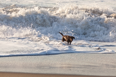 Brown labrador playing in water on the beach. photo