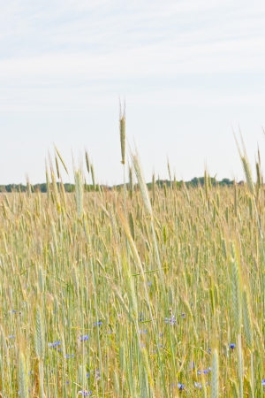 Rye (Secale cereale) is a grass grown extensively as a grain and as a forage crop. It is a member of the wheat tribe (Triticeae) and is closely related to barley and wheat. Stock Photo - 14665931