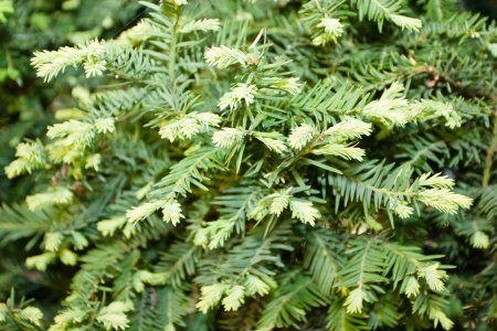 northwest africa: European yew (Taxus baccata) is a conifer native to western, central and southern Europe, northwest Africa, northern Iran and southwest Asia. Stock Photo