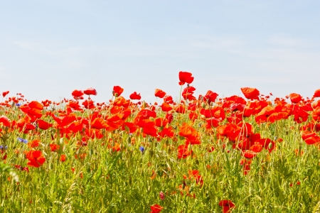A poppy is any of a number of colorful flowers, typically with one per stem, belonging to the poppy family. photo