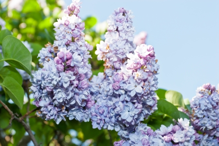 elder tree: European Elder  Sambucus nigra  is a deciduous shrub or small tree growing to 4–6 m tall