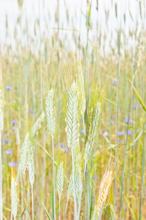 secale: Rye  Secale cereale  is a grass grown extensively as a grain and as a forage crop  It is a member of the wheat tribe  Triticeae  and is closely related to barley and wheat