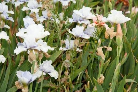 plants species: Iris is a genus of 260 species of flowering plants with showy flowers.