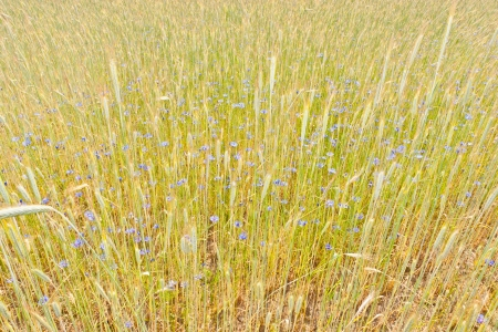 secale: Rye (Secale cereale) is a grass grown extensively as a grain and as a forage crop. It is a member of the wheat tribe (Triticeae) and is closely related to barley and wheat.