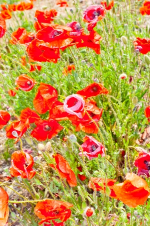A poppy is any of a number of colorful flowers, typically with one per stem, belonging to the poppy family. Imagens