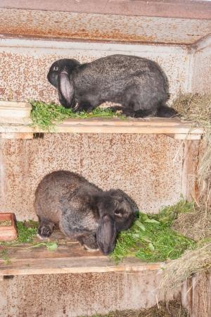 lop eared: Lop eared European domestic rabbit on a farm