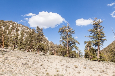 inyo national forest: Ancient Bristlecone Pine Forest is high in the White Mountains in Inyo County in eastern California. Stock Photo