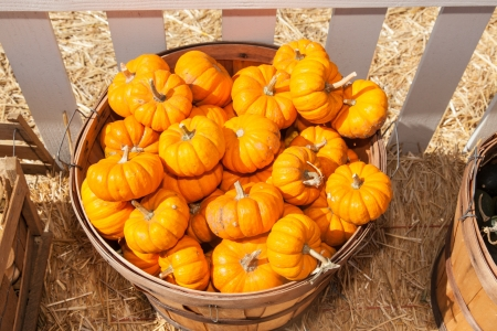 Pumpkins in pumpkin patch waiting for customers.