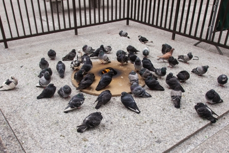 outdoor fireplace: Pigeons warming themselves up at an open fire pit on Daley Plaza on a cold December afternoon in downtown Chicago.