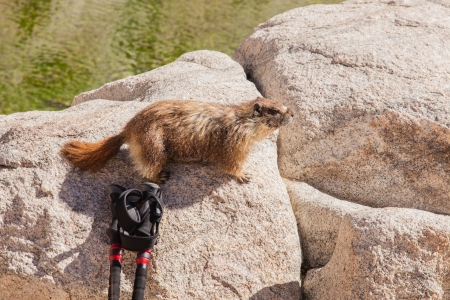 varmint: Yellow-bellied marmot lives in the western United States and southwestern Canada, including the Rocky Mountains and the Sierra Nevada.