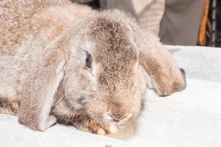 eared: Lop eared European domestic rabbit on a farm