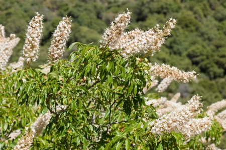 buckeye flower: Flower spikes of the California Buckeye on th foothills near Kings Canyon.
