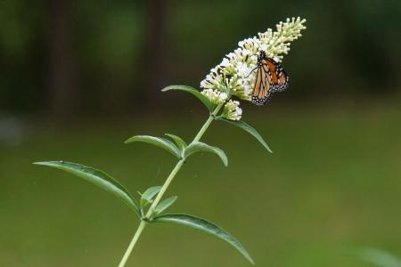 plexippus: Monarch butterfly (Danaus plexippus) is a milkweed butterfly in the family Nymphalidae.