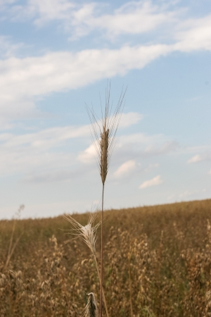 extensively: Rye (Secale cereale) is a grass grown extensively as a grain and as a forage crop. It is a member of the wheat tribe (Triticeae) and is closely related to barley and wheat.