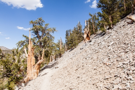 bristlecone: Ancient Bristlecone Pine Forest is high in the White Mountains in Inyo County in eastern California