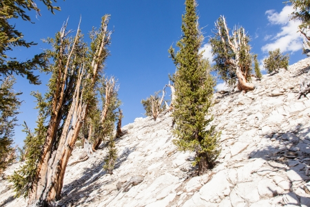 bristlecone: Ancient Bristlecone Pine Forest is high in the White Mountains in Inyo County in eastern California. Stock Photo
