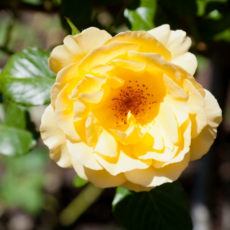 rosaceae: Rose is a perennial plant of the genus Rosa, within the family Rosaceae.