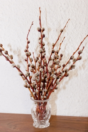 brown pussy: Pussy willow is a name given to many of the smaller species of the genus Salix (willows and sallows) when their furry catkins are young in early spring. Stock Photo