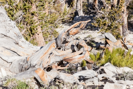 Ancient Bristlecone Pine Forest is high in the White Mountains in Inyo County in eastern California  photo