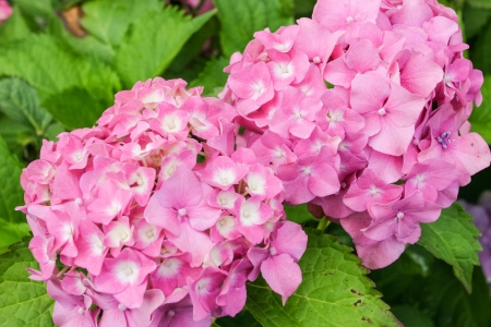 Hydrangea macrophylla is a species of flowering plant in the family Hydrangeaceae, native to China and Japan. photo