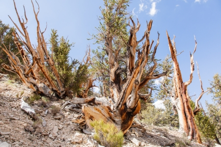 bristle: Ancient Bristlecone Pine Forest is high in the White Mountains in Inyo County in eastern California. Stock Photo