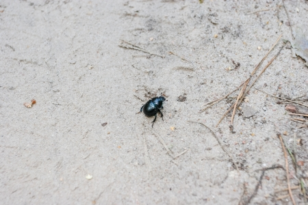 stercorarius: Beetle is weakly lustrous and darkly colored, sometimes with a bluish sheen. The body shape is very compact and arched toward the top.