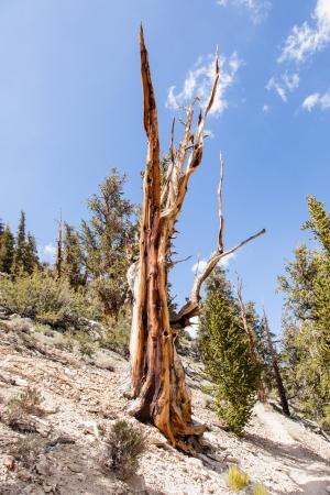 inyo national forest: Ancient Bristlecone Pine Forest es alto en las Monta�as Blancas en el condado de Inyo en el este de California Foto de archivo