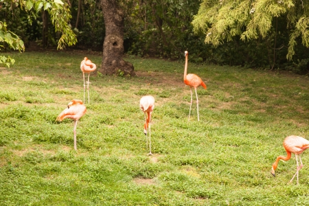 American Flamingo (Phoenicopterus ruber) is a large species of flamingo closely related to the Greater Flamingo and Chilean Flamingo. 版權商用圖片