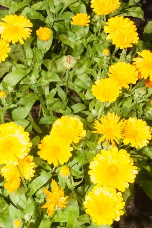 lax: Calendula officinalis s a short-lived aromatic herbaceous perennial, growing to 80 cm (31 in) tall, with sparsely branched lax or erect stems.