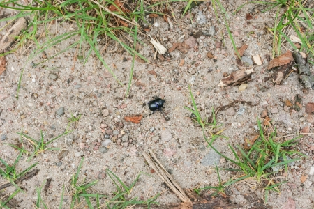 Beetle is weakly lustrous and darkly colored, sometimes with a bluish sheen. The body shape is very compact and arched toward the top. photo