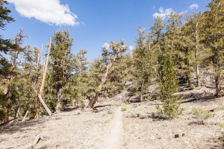 Ancient Bristlecone Pine Forest is high in the White Mountains in Inyo County in eastern California. photo