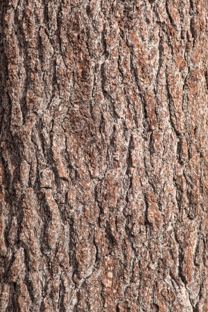 Trunk (or bole) refers to the main wooden axis of a tree[1] that supports the branches and is directly attached to and supported by the roots. Stock Photo - 21188349